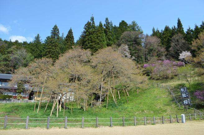 0315W 130504 garyu zakura.jpg