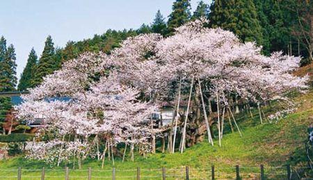 0325M 130504 garyu zakura.jpg