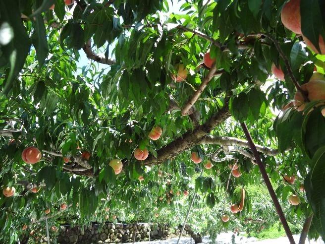 120819104 fruit line.jpg